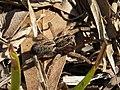 Wolf Spider Tigrosa annexa (38307286331).jpg