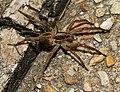 Wolf spider (29389706587).jpg