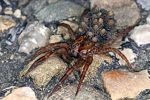 English: Wolf spider Deutsch: Wolfspinne Русск...