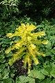 Wollemia nobilis kz9.jpg
