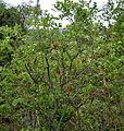 Wrightia tinctoria in Keesaraguda, AP W IMG 9082.jpg