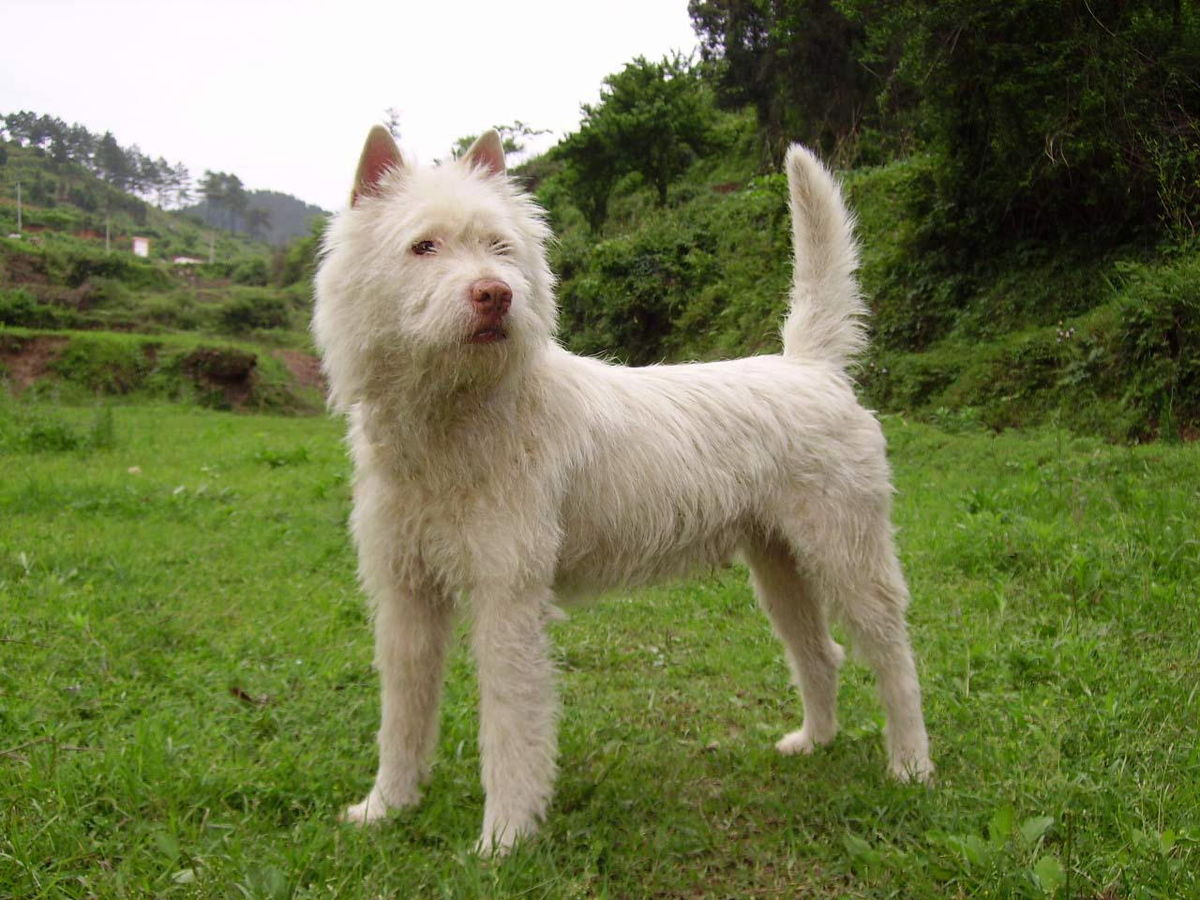 Xiasi Dog - Wikipedia