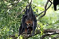 YT 0590 Lyle's flying fox (35918766056).jpg