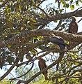 Yellow-billed Kites, Harar, Ethiopia (2144049383).jpg