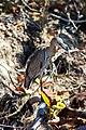 Yellow-crowned night-heron (33107269881).jpg
