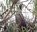 Yellow-crowned night heron (48122206526).jpg