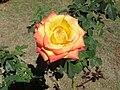 Yellow and pink rose - Brasília, Brazil.jpg