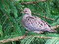 Young Mourning Dove.jpg