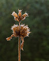 Zaaddozen van Stachys macrantha 'Superba' Locatie, Tuinreservaat Jonkervallei 01.jpg