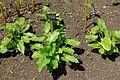 Zantedeschia aethiopica 'Green Goddess' - Savill Garden - Windsor Great Park, England - DSC06112.jpg
