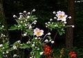 Zawilec japoński. (Anemone hupehensis) 01.jpg