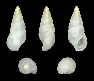 <i>Zebina</i> genus of molluscs