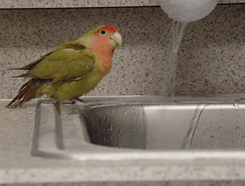 Pet bird Zip taking a bath
