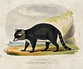 Zoological Society of London; a racoon. Coloured etching. Wellcome V0023141.jpg