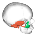Zygomaticotemporal suture - lateral view3.png