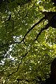 'Aesculus hippocastanum' horse-chestnut conker tree at Feeringbury Manor, Feering Essex England 5.jpg
