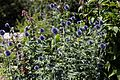 'Echinops ritro' southern globethistle in Walled Garden of Parham House, West Sussex, England.jpg