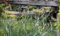 'Foeniculum vulgare' fennel Henham Essex England.jpg