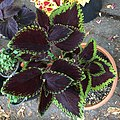 'Giant Exhibition Magma' coleus IIMG 0883.jpg