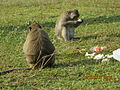 'Monkeys' in Angkor Wat Temple complex..JPG