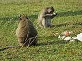 'Monkeys' in Angkor Wat Temple complex..JPG