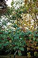 'Sorbus pohuashanensis' Rowan - Beale Arboretum - West Lodge Park - Hadley Wood - Enfield London.jpg