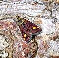 (1361) Pyrausta aurata (34803320612).jpg
