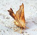 (1914) Dusky Thorn (Ennomos fuscantaria) - Flickr - Bennyboymothman.jpg