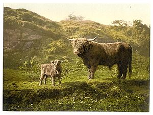 Highland cattle - Highland cattle, ca. 1890 - 1900.