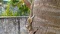 (Funambulus palmarum) Indian palm squirrel spotted at Madhurawada1.JPG