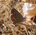 , Female Common Blue - Flickr - gailhampshire.jpg