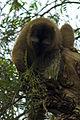 ¿Lemur mangosta? I - Bioparc Valencia (2786513967).jpg