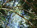 Árvore fina envergada 2.jpg