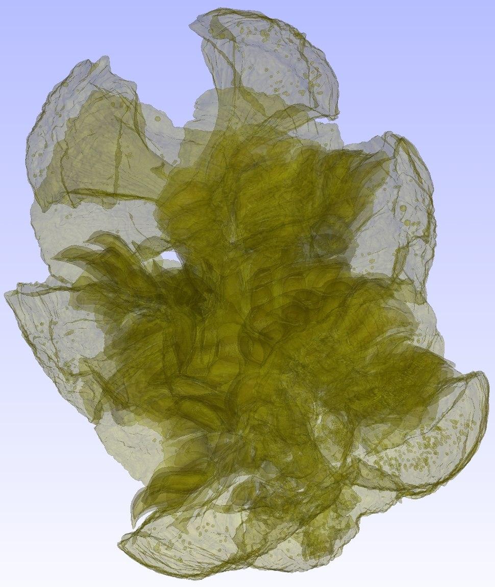 %CE%9CCT Cupressus strobilus 03 semi-transparent
