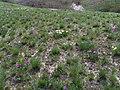 Балка Плоска, цвітуть іриси на схилах.jpg