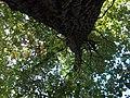 Великий дуб (вид знизу вверх).jpg