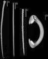 Внешний вид скелетных элементов (или спикул) губки Hymedesmia similis (Lundbeck, 1910).png