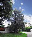 Вікове дерево груші 03.JPG