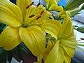 Жёлтая лилия.jpg