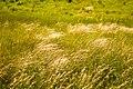 Коваль в поле Ботанического сада ЮФУ г. Ростов-на-Дону.jpg