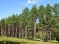 Лес у поселка Пески 2.jpg