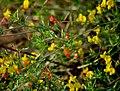Лядвенец рогатый Lotus corniculatus Common bird's-foot trefoil Обикновеният звездан Gewöhnlicher Hornklee (31848590556).jpg