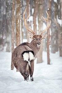 Олень у зимовому лісі.jpg