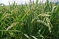 Ориз во Кочанско 12.jpg
