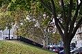 Платан западный (сквер Оперного театра, №1). Фото 2.jpg