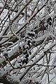 Почорнілі від холоду плоди лоху сріблястого.jpg