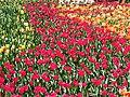 Тюльпани в дендропарку. Квітень 2018.jpg