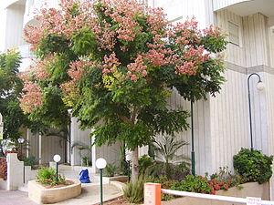 Koelreuteria bipinnata - koeltreuteia bipinnata tree