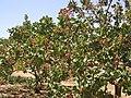 أشجار الفستق الحلبي وقت الإزهار.JPG