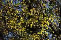 برگ زرد-پاییز-yellow leaves-falling leaves 30.jpg
